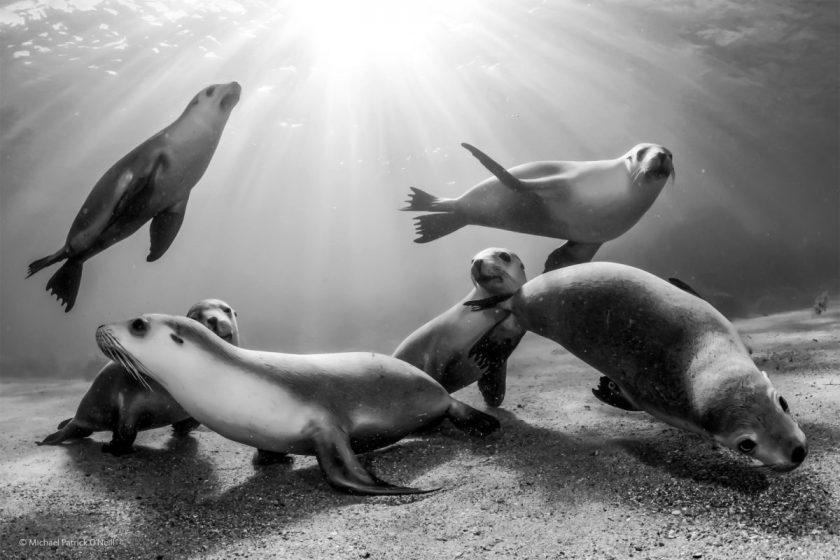 Australian sea lion pups, by Michael Patrick O'Neill, USA / Brazil