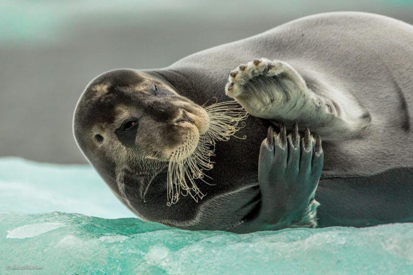 """""""Flirting Bearded Seal,"""" by Audun Rikardsen, Norway"""
