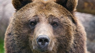 Is hunting bears immoral?