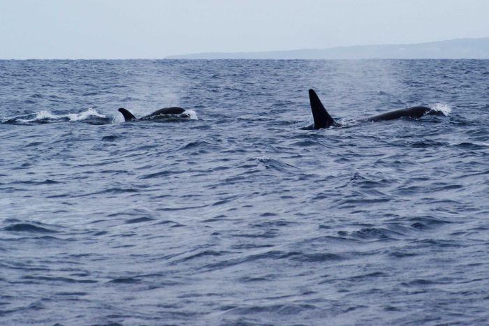 Orcas VS Great White Shark