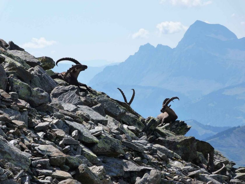 Alpine Ibex spotted at approximately 2200 m on a hike from the Bellevue plateau. Photo: ADAPT Network