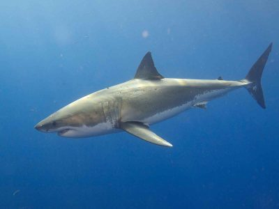 Great mystery solved, Sharks enjoy death-metal music!