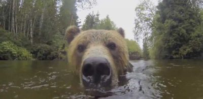 Video: Watch what this Grizzly Bear does with a Floating Camera