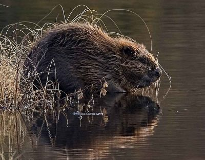 A Trust is crowdfunding to bring beavers back to Cornwall