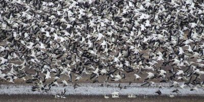 10,000 migrating snow geese killed after landing in toxic lake