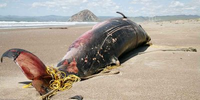 More and more dolphins and whales are mysteriously washing up on Cornwall's beaches. What can be done?