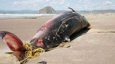 Aurora Borealis could have caused whale strandings on UK coast