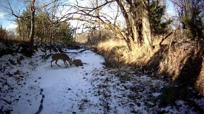 Video: Game Warden frees two tangled rutting deer by shooting antler off