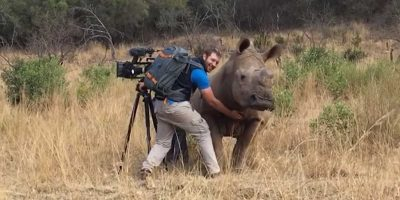Cameraman gets shock of life when rhino comes in for a belly rub