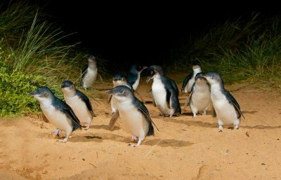 Sponsored Video: World's smallest penguins help pay for their own conservation with Penguin Parade