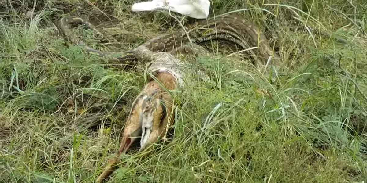 African Rock Python Regurgitates Whole Deer