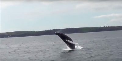 Humpback whale spotted breaching 25 times across Falmouth Bay in Cornwall