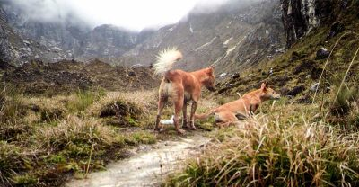 Mountain dogs feared to be extict are rediscovered in the wild