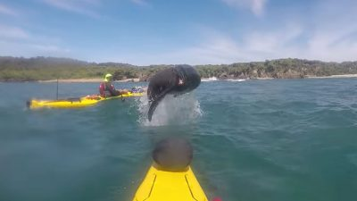 Sea Lion takes giant leap at kayaker, missing him by inches