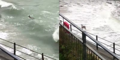 Wild deer spotted surfing the waves in Cornwall