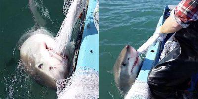 Great white shark and fisherman enter tug of war over net