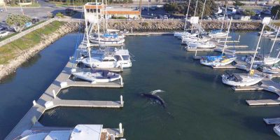 35ft humpback whale freed after getting trapped overnight in Californian harbour