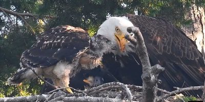 Baby red-tailed hawk gets adopted by bald eagles after they find him in their nest