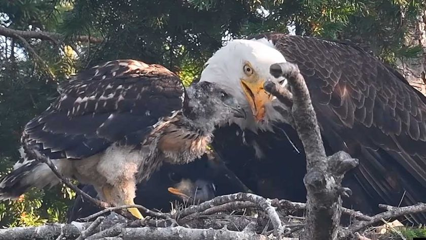 Baby Red Tailed Hawk Gets Adopted By Bald Eagles After They Find Him In Their Nest
