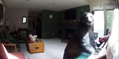 Wild bear breaks into a home and starts playing the piano