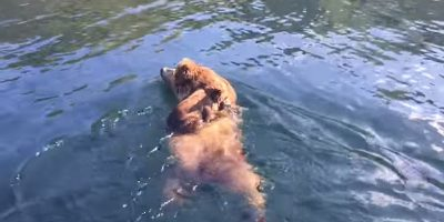 Bear cubs hitch ride across Alaskan lake on their mother's back