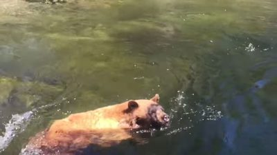 Yosemite hiker captures the moment a black bear gets swept over a waterfall