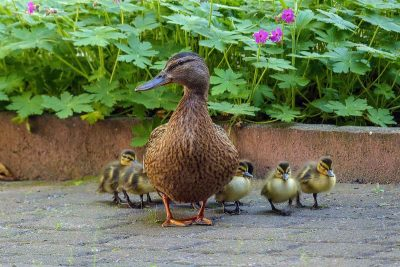 Mama duck causes road blockage after taking her ducklings on one mile hike