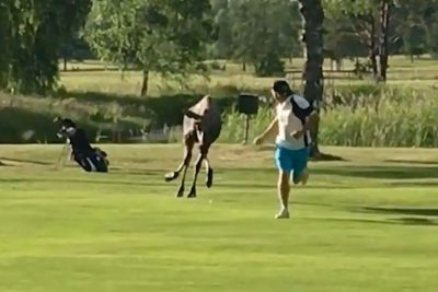 Moose chases golfer across fairway as friend films and laughs