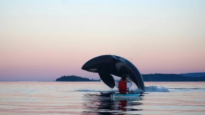 Orca breaches just metres away from kayaker in 'amazing animal experience'