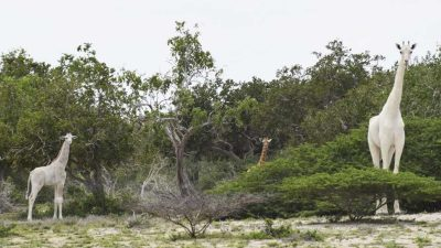 Rare white giraffes sighted by conservation rangers in Kenya