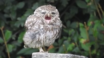 Baby owl caught on camera giving an 'infectious' yawn