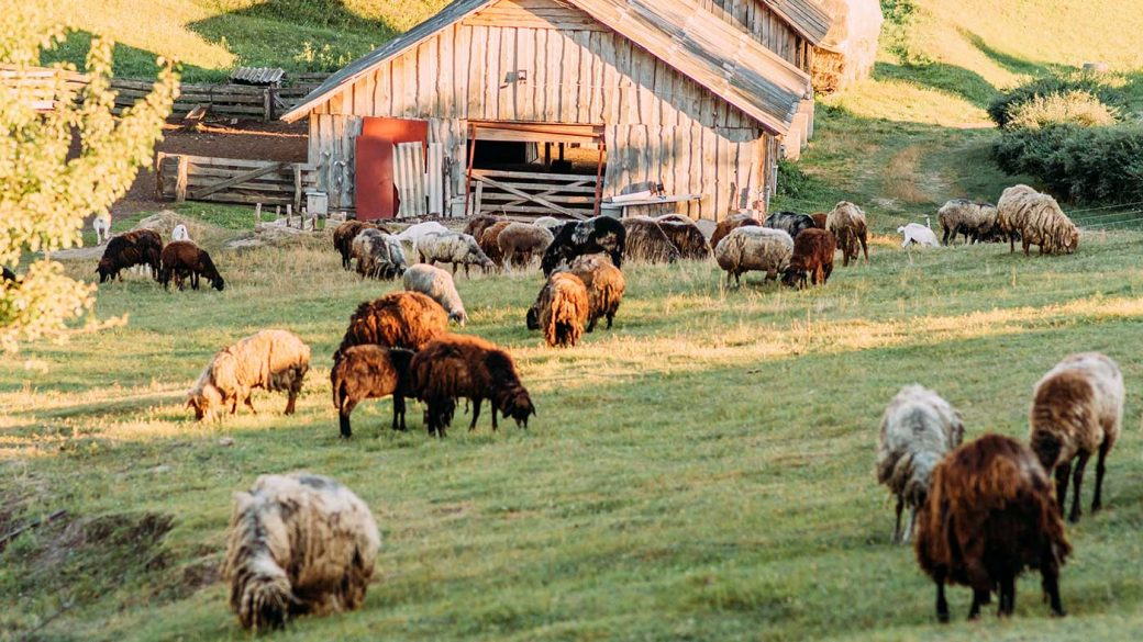 Sheep grazing on a hillside in front of a barn